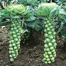 Flamingo_brussel sprouts